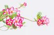 Pink flower on white backgroun