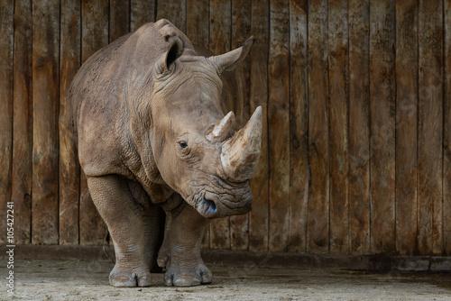 Fototapeta premium Rinoceronte en Parque de Cabárceno
