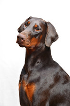 Portrait Of Brown Doberman On ...