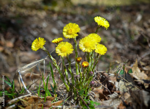Valokuva  Yellow coltsfoots growing up in early spring