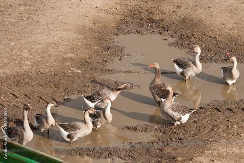 Photo  Troupe d'oies dans la fange