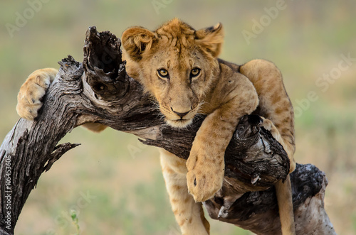 Tuinposter Leeuw Young lion hanging out