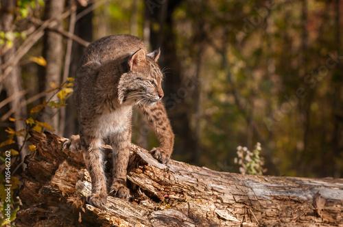 Foto auf Leinwand Luchs Bobcat (Lynx rufus) Turned Right