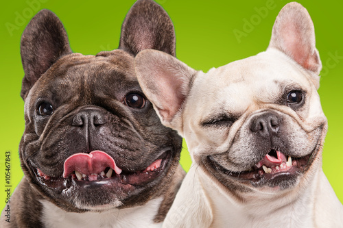 Poster Bouledogue français French bulldogs isolated over green background