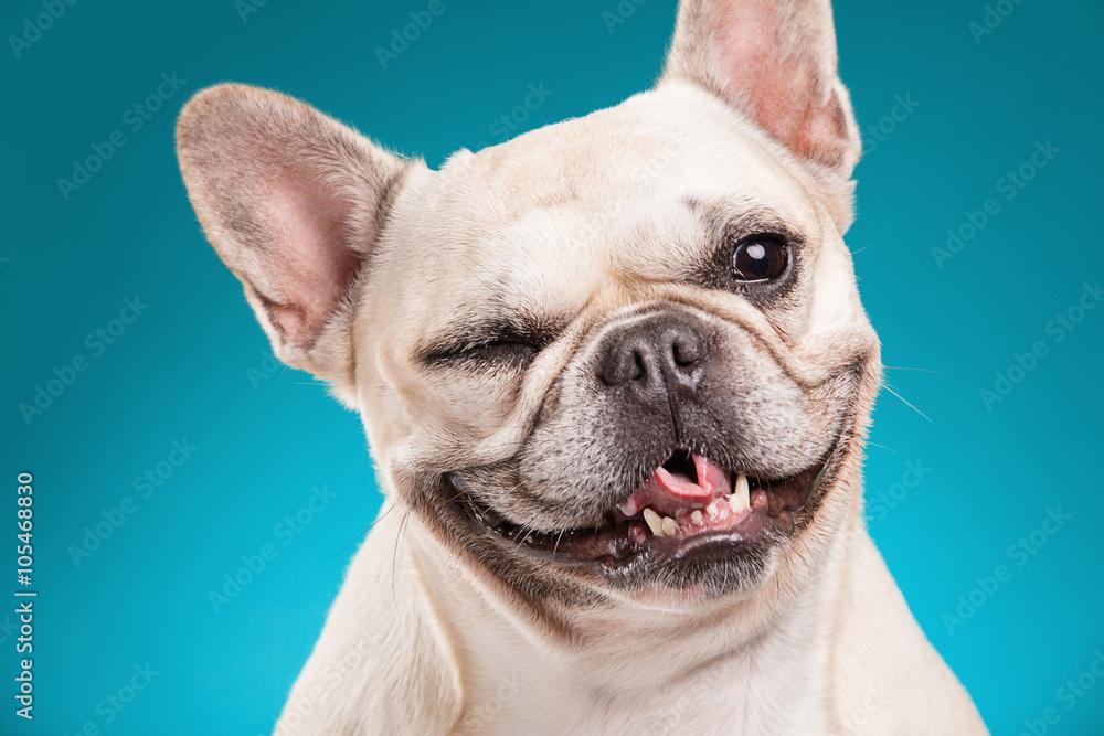 Fototapety, obrazy: French bulldog isolated over blue background