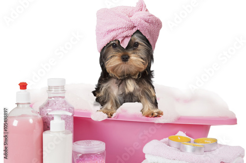 Poster Hond Yorkshire terrier dog taking a bath
