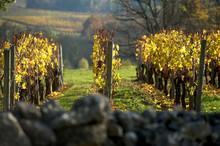 Saint-Emilion Vineyard In Autumn