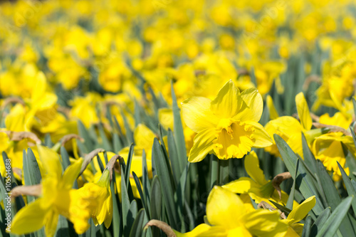 Papiers peints Narcisse Yellow narcissus flower heads background