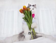 Cat Brought A Bouquet Of Tulips In A Bed Mistress