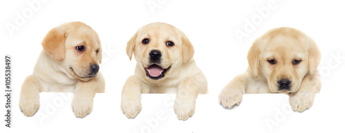Photographie  labrador puppy, looking