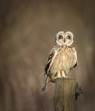 Wild Short Eared Owl Sitting On Fence Post And Looking Into The