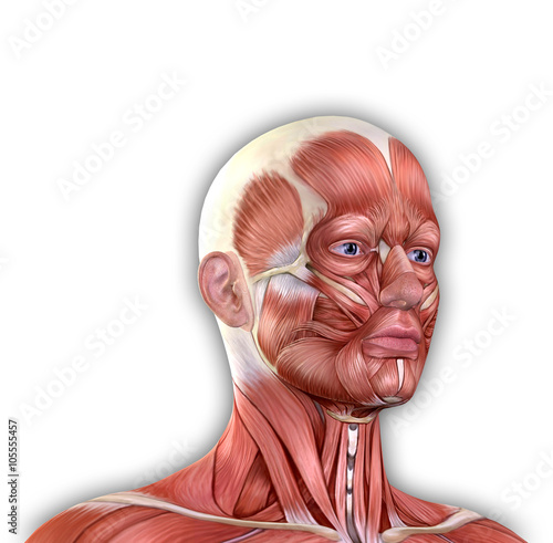 Male Face Muscles Anatomy Buy This Stock Illustration And Explore