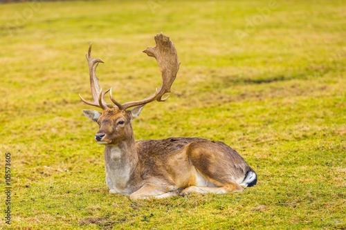 Fotobehang Ree Fallow-deer in outdoor
