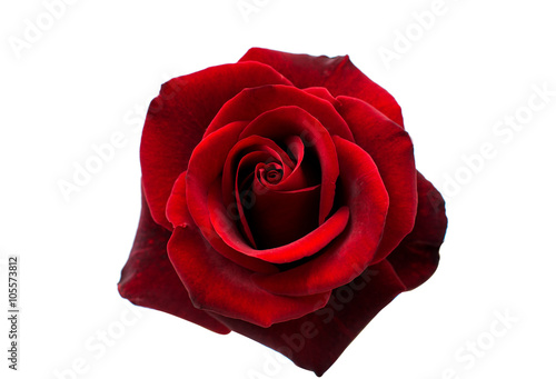 red rose isolated Wallpaper Mural