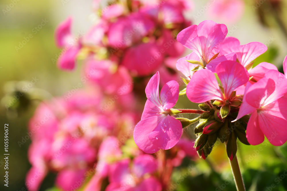 Leinwandbild Motiv - kuarmungadd : Pink geraniums in the morning
