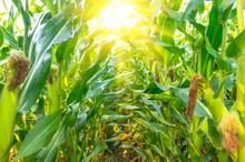 Growing Organic Corn