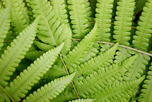 Beautyful Leaf Of Fern Is Clos...