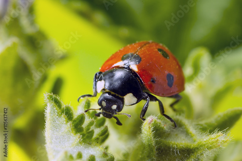 Papiers peints Macro photographie Macro photo of a 7-spot ladybird.