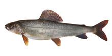 Kosogol Grayling (Thymallus Nigrescens)