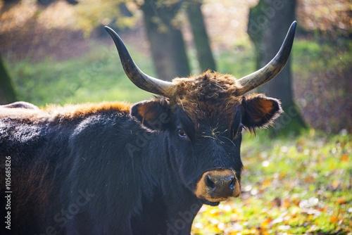 Fényképezés  Bos primigenius - aurochs