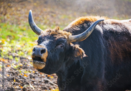 Vászonkép  Bos primigenius - aurochs