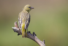Female Weaver Sit On A Perch And Waiting For The Male