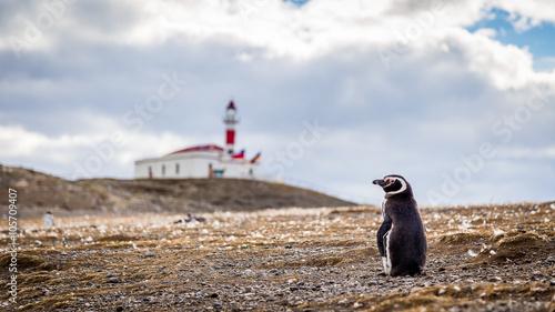 Penguin Isla Magdalena Chile , Punta Arenas Patagonia