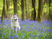 Husky, Portrait