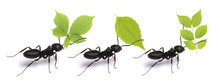 Small Ants Carrying Green Leav...