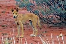 Dingo Im Australischen Outback