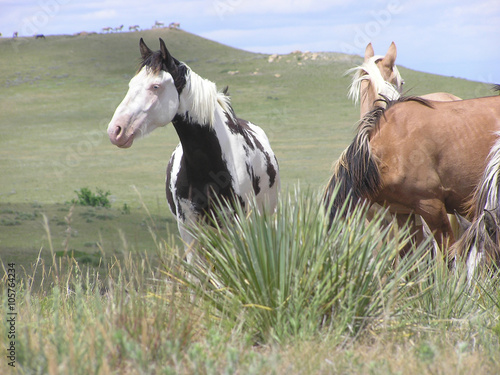 Spanish Mustang horses on the prairie with a herd of horses in the background Plakát