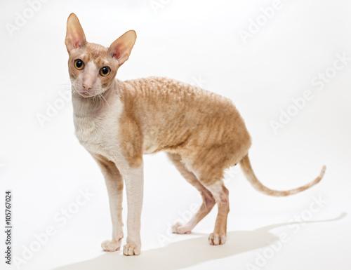 Leinwand Poster Domestic cat breed the Cornish Rex