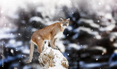 Poster Puma Portrait of a cougar, mountain lion, puma, panther, striking a p