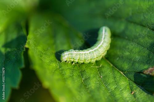Fotografía  The big green caterpillar on a leaf