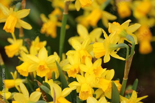 In de dag Narcis blühende Narzissen - Ostern