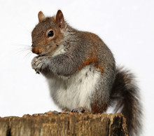 Close Up Of A Grey Squirrel Eating Peanuts On A Tree Trunk