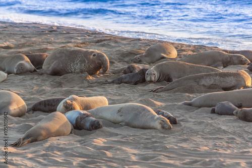 Photo  Elephant Seals