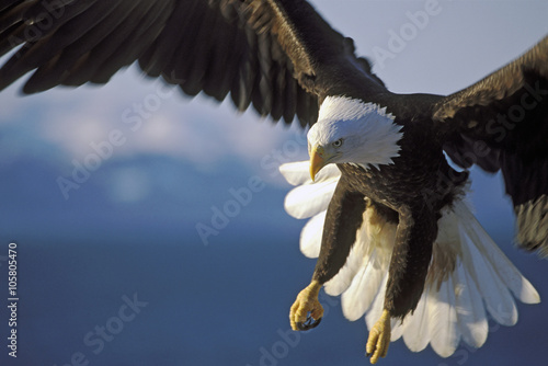 Beautiful Bald Eagle in spectacular flight, close up