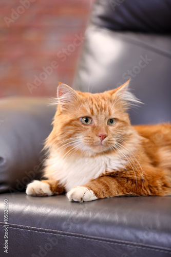 Foto op Aluminium Kat Fluffy red cat lying on a sofa