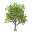 Leinwanddruck Bild - 3d model of ash tree isolated on pure white background