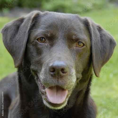 Door stickers Dog bruine labrador kijkt blij in de camera
