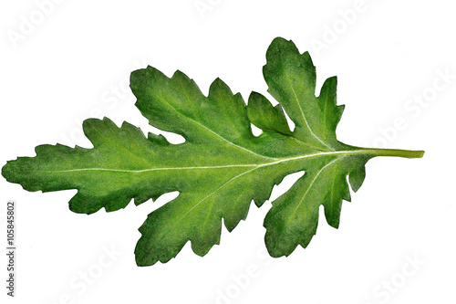 Carved beautiful chrysanthemum leaf closeup isolated on white ba Fototapete