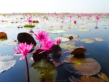 Red Lotuses Bloom During Seaso...