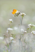Male Orange Tip Butterfly Ant...