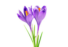 Two Purple Crocuses, Isolated On White