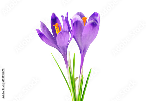 Foto op Canvas Krokussen Two purple crocuses, isolated on white