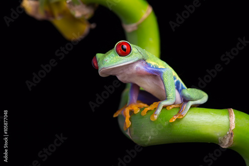 Red-Eyed Amazon Tree Frog (Agalychnis Callidryas)/Red-Eyed Amazon Tree Frog on twisted Bamboo