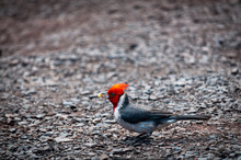 Red-crested Cardinal Holding F...