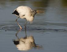 Wood Stork Feeding.