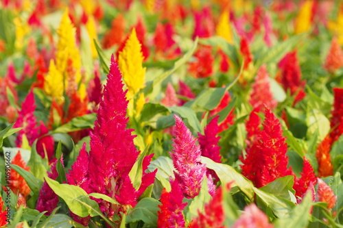 Valokuva  Colorful flowers bloom in summer of Thailand